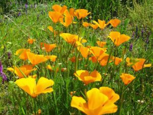 California_Poppies